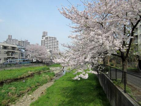 空堀川の桜