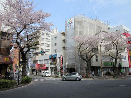 2年前に剪定された桜も元気に花を咲かせている