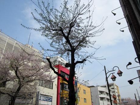 「炭味坐」の前の桜も満開
