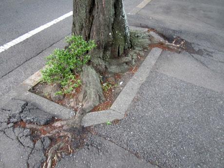 桜の根がアスファルトを突き破っている