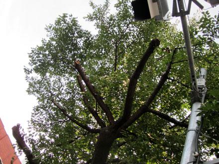 道路反対側にある桜も信号に葉がかからないように枝が切られている