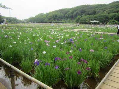 北山公園の花菖蒲