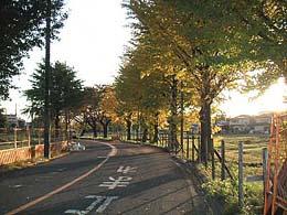伐採予定の大銀杏の並木
