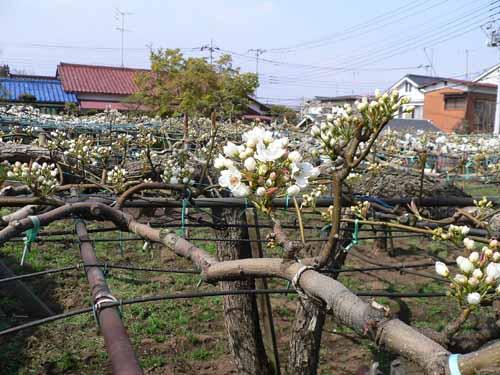 棚状になった木に咲く白い花