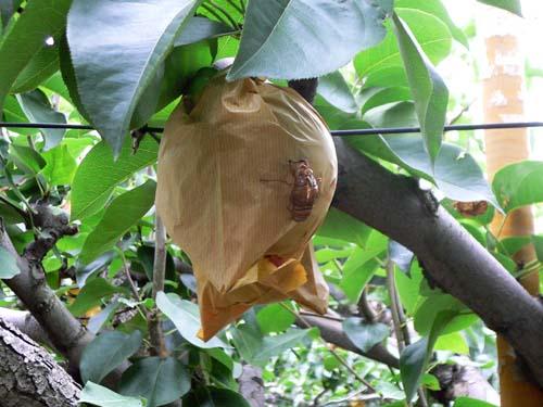 梨の木にはセミの抜け殻がいっぱい。中には梨にしがみついて脱皮したセミも