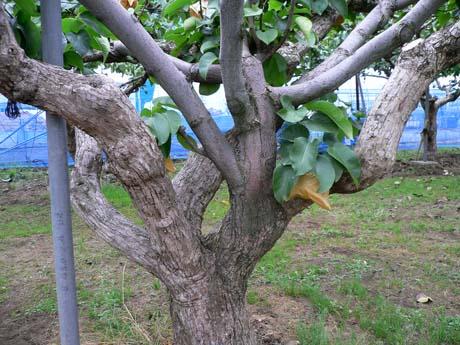 真ん中の枝は明らかに幹や左右の枝と違う